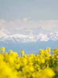 Rapeseed field and mountains Stock Images