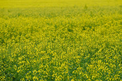 Rapeseed field, nature background Royalty Free Stock Photography