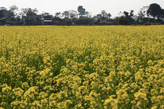 Rapeseed field in Nepal Royalty Free Stock Photo