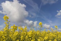 RAPESEED FIELD. Field of rapeseed oil plantation against a blue sky Stock Images