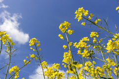 RAPESEED FIELD. Field of rapeseed oil plantation against a blue sky Stock Image