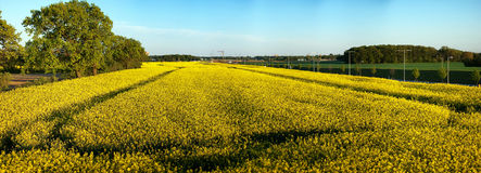 Rapeseed field panorama Royalty Free Stock Images