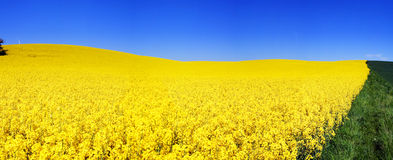 Rapeseed Field Panorama Royalty Free Stock Photo