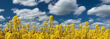 Rapeseed field panorama with beautiul sky. Yellow rapeseed field panorama with beautiul sky Stock Images