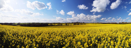 Rapeseed field panorama Royalty Free Stock Photos