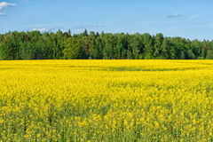 Rapeseed field panorama, nature background Stock Image
