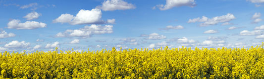 Rapeseed field panoramic landscape Stock Photos