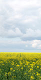 Rapeseed field panoramic view Stock Images