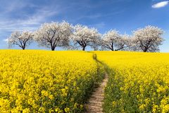 Rapeseed field, parhway and alley flowering cherry trees Royalty Free Stock Images