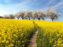 Rapeseed field, parhway and alley flowering cherry trees Stock Photos