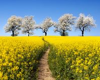 Rapeseed field, parhway, alley of flowering cherry trees Stock Images