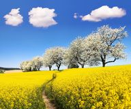Rapeseed field with parhway and cherry trees. Rapeseed, canola or colza field with parhway and alley of flowering cherry trees - Brassica Napus - rape seed is Stock Image