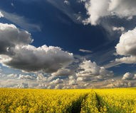 Rapeseed field with path Royalty Free Stock Image