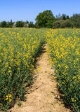 Rapeseed Field Path Royalty Free Stock Photos