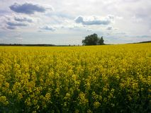 Rapeseed field. Peaceful landscape with rapeseed field under the cloudy sky Royalty Free Stock Image