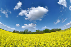Rapeseed field photographed fisheye Royalty Free Stock Photography