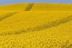 Rapeseed field roads Royalty Free Stock Photography