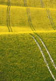 Rapeseed Field Stock Image