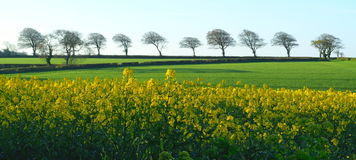 Rapeseed field with row of trees Royalty Free Stock Photos