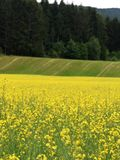 Rapeseed field in rural landscape Stock Photos