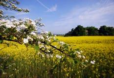 Rapeseed field in rural scene Stock Photo