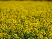 Rapeseed field in spring with unfocused background royalty free stock photography