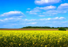 Rapeseed field in spring Stock Photo