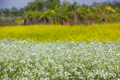 Rapeseed field at spring Royalty Free Stock Photo
