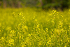 Rapeseed field at spring Royalty Free Stock Image