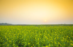 Rapeseed field at spring. Countryside landscape with yellow rapeseed field royalty free stock images