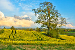 Rapeseed field in spring. stock image