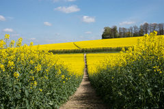 Rapeseed field in spring Stock Photos