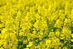 Rapeseed field in the spring sunny day. Royalty Free Stock Image