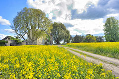 Rapeseed field in spring time Stock Photo