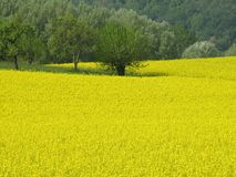 Rapeseed field. In spring time Stock Photos
