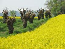 Rapeseed field. In spring time Royalty Free Stock Photos