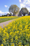Rapeseed field in spring time Stock Images