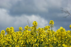 Rapeseed field in Springtime Stock Images