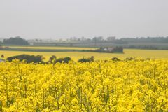 Rapeseed field in springtime Royalty Free Stock Image