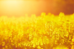 Rapeseed field. Springtime - rapeseed field at the sunset stock image