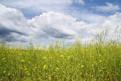Rapeseed field at summer Royalty Free Stock Images