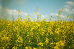 Rapeseed Field in Summer Royalty Free Stock Photography