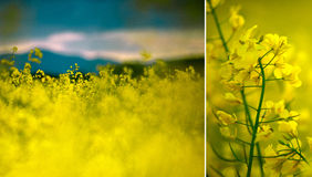 Rapeseed Field on a Summer Evening royalty free stock images