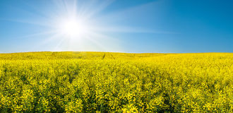 Rapeseed field and sun in blue sky Royalty Free Stock Image