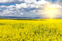 Rapeseed field and sun Stock Images