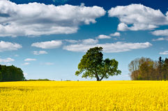 Rapeseed field on a sunny day Stock Images