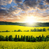 Rapeseed field. In the sunset Royalty Free Stock Image