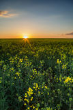 Rapeseed field at sunset Stock Photography
