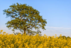 Rapeseed field with tree Royalty Free Stock Photos