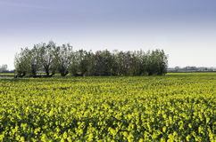 Canola field. Tree line on a Canola field Royalty Free Stock Images